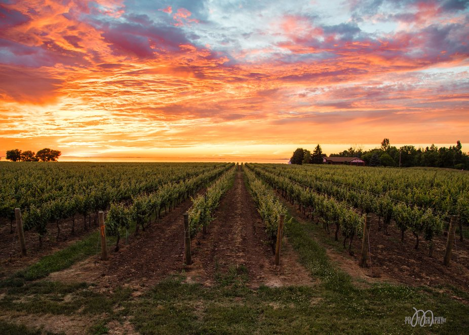 Vineyards and Sunsets