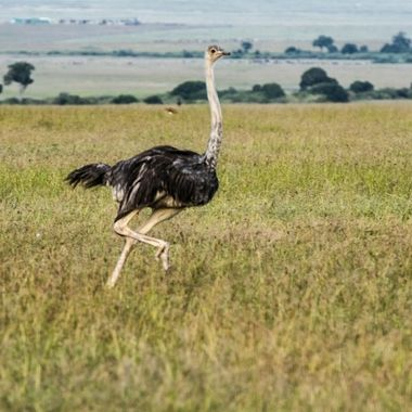 Ostrich on the run