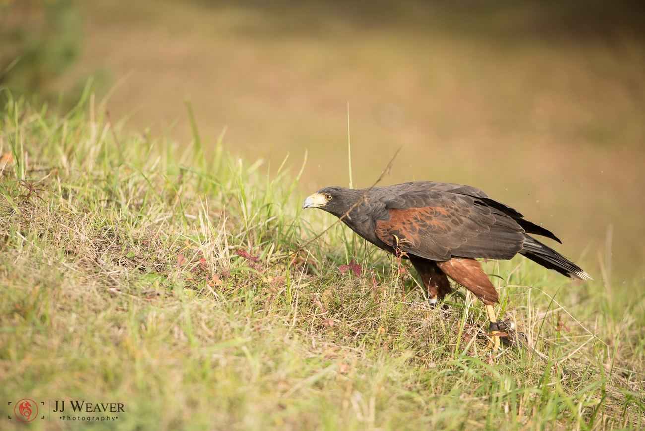 shoot with birds of prey