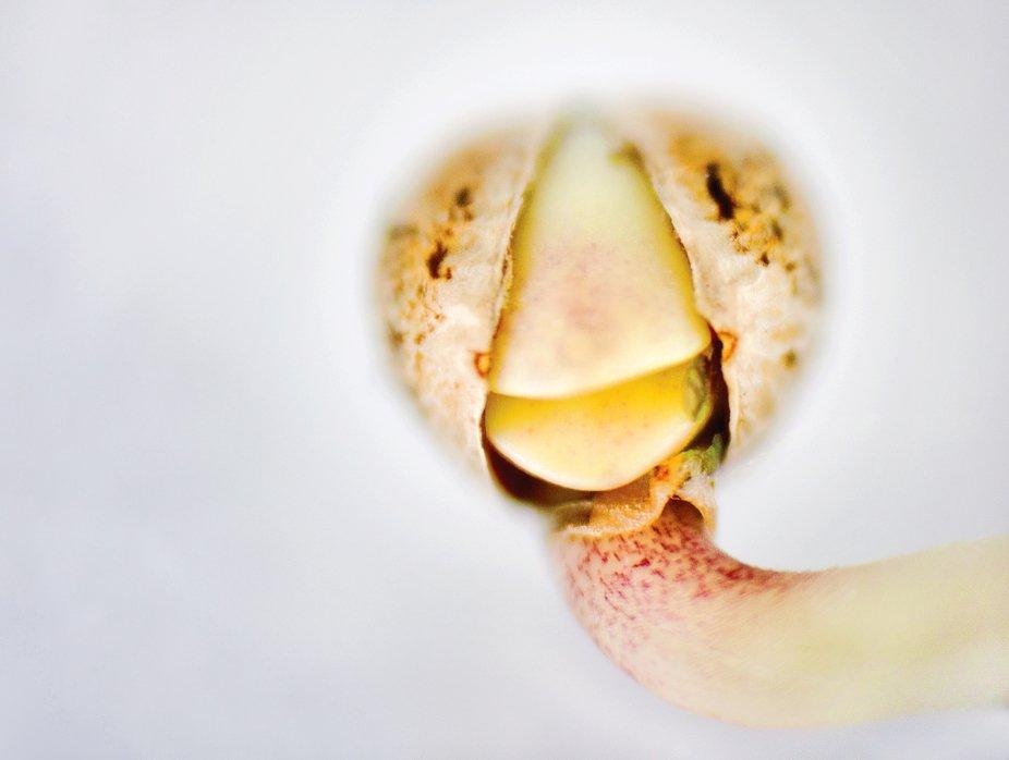 Macro shot of an blooming seed
