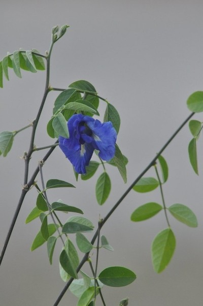 BUTTERFLY-PEA-FLOWER-FROM-THAILAND-IN-PROVENCE