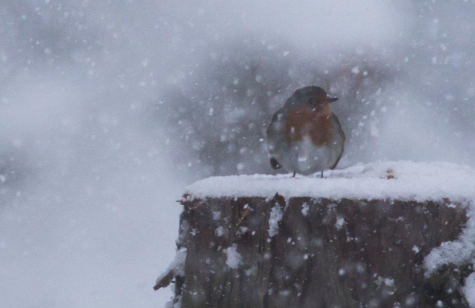 robin in snow (1 of 1)