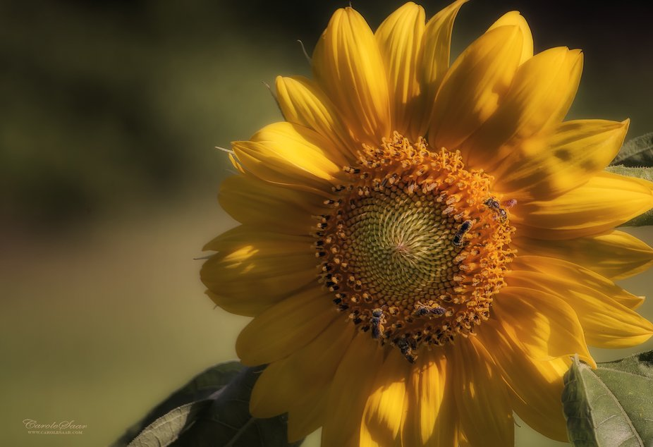 Bees and Sunflower