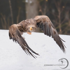 It's time to go for this white-tailed eagle. The nictitating membranes are protecting the eyes cause the snow whirls around.
