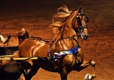 COuntry Harness Pleasure HOrse