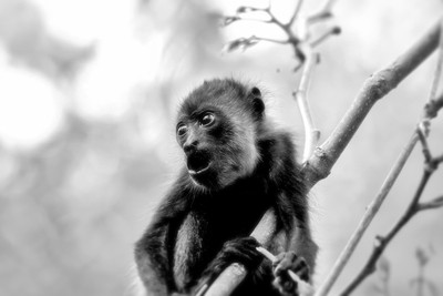 Young Howler Monkey