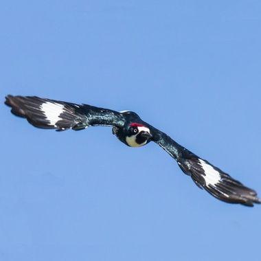 Acorn Woodpecker-1396