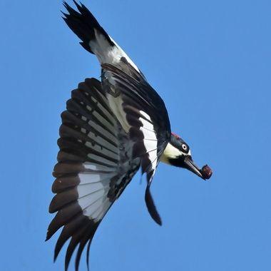 Acorn Woodpecker-1188
