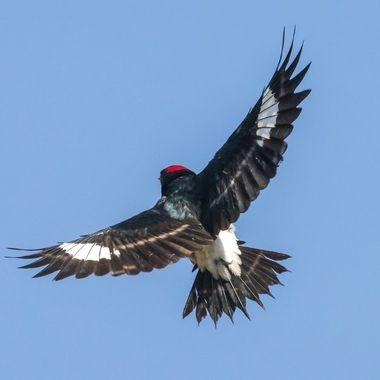 Acorn Woodpecker-1386