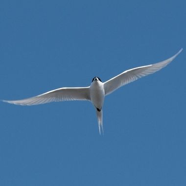 White-fronted tern Fly over