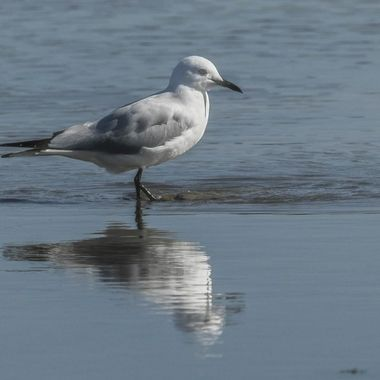 Black billed gull stirring the sand for food
