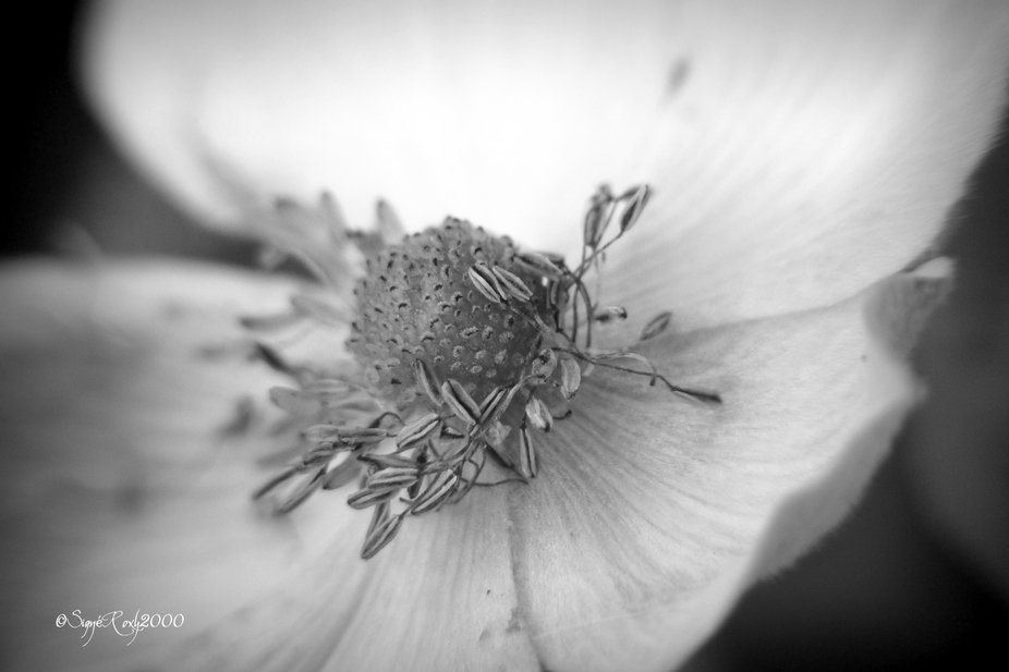 The Heart of a Wild Rose