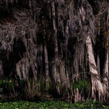 Swamp on the SJR