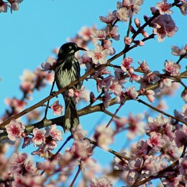 Honeyeater in blossoms