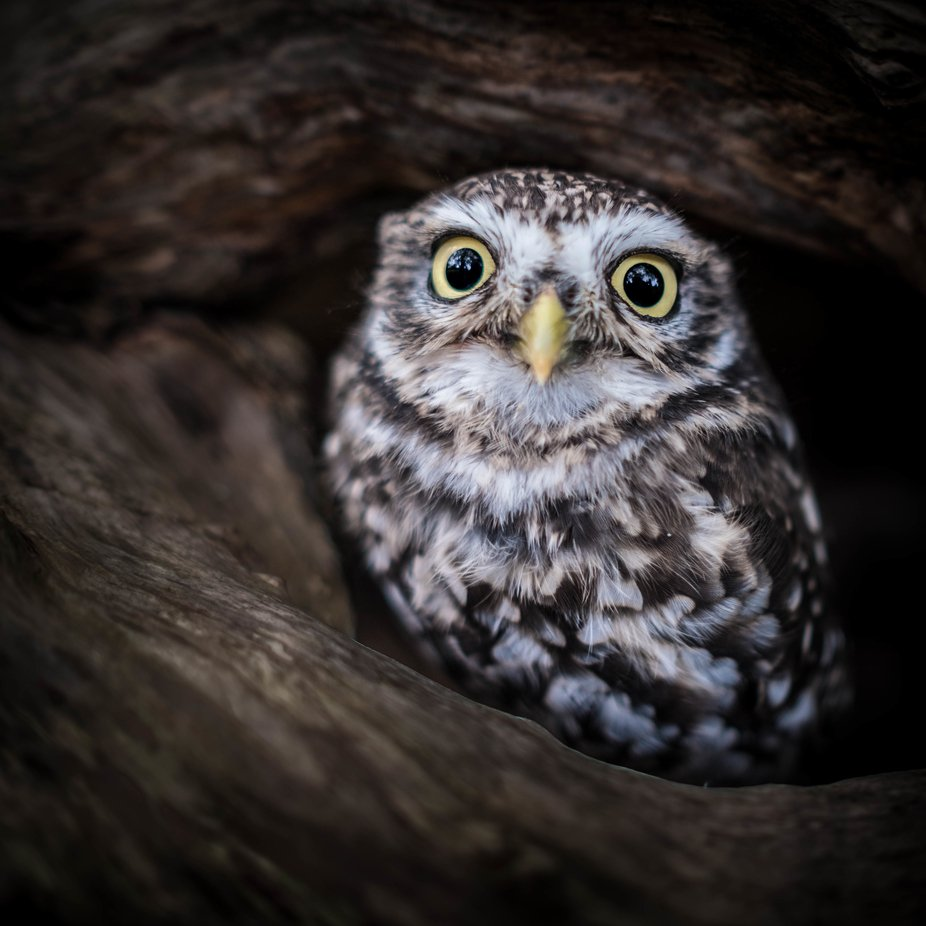Little Owl by rd66 - Beautiful Owls Photo Contest