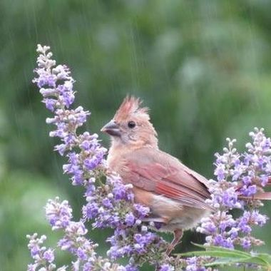Red bird in the rain