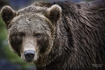 The Norwegian Bear after a Swim