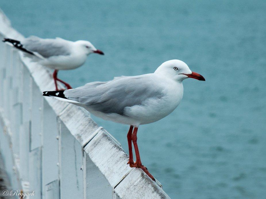 Two Seagulls at Urangan Pier, Hervey Bay, Queensland