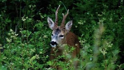 Roe Deer Bull