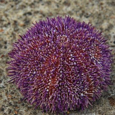 sea hedgehog