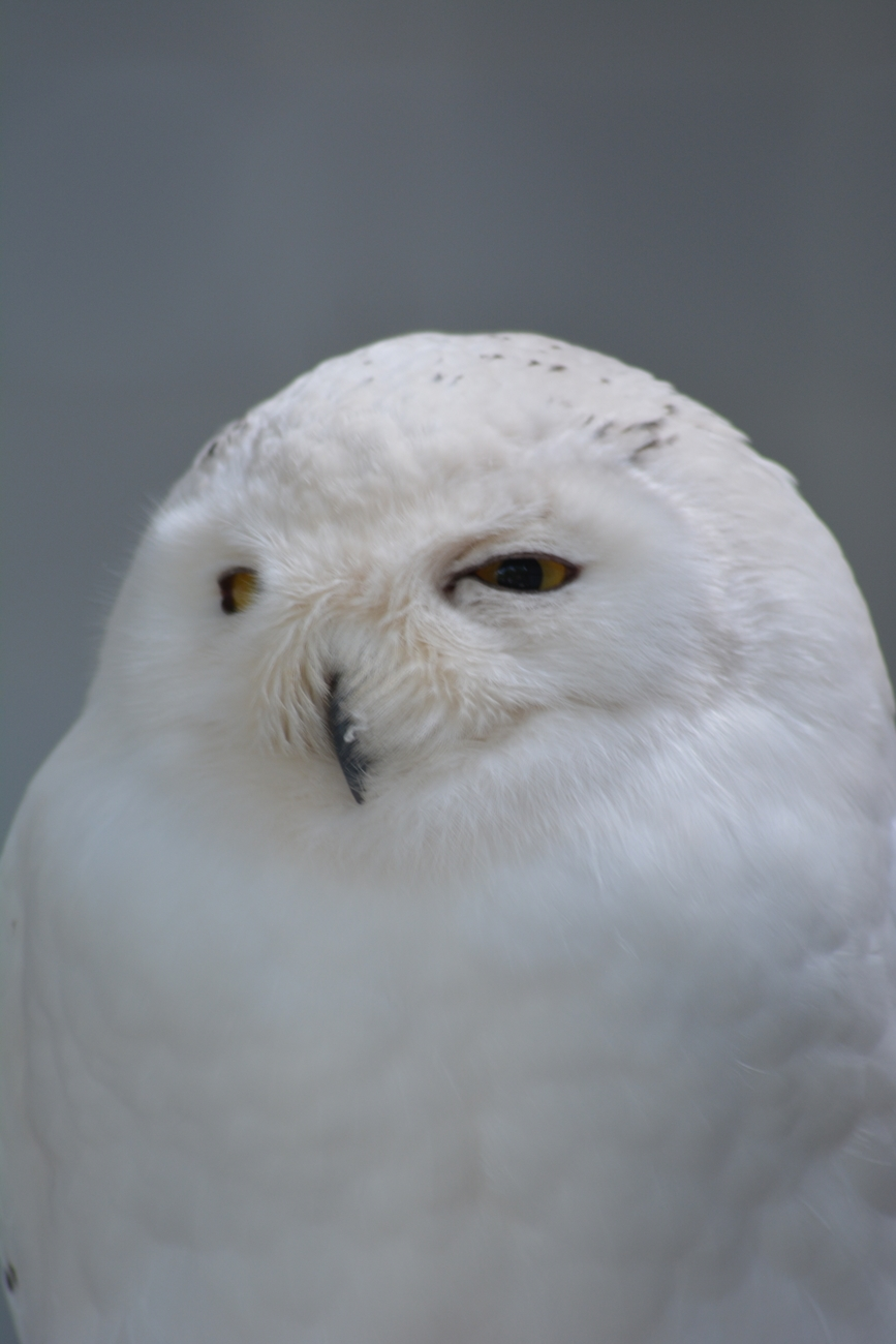 One of the many rescued birds of prey at the Loch Lomond Bird of Prey Center.