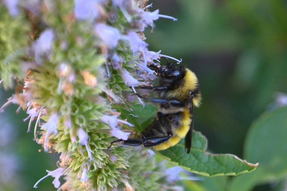Bumble Bee on Blue Fortune Hybrid Hyssop/Agastache