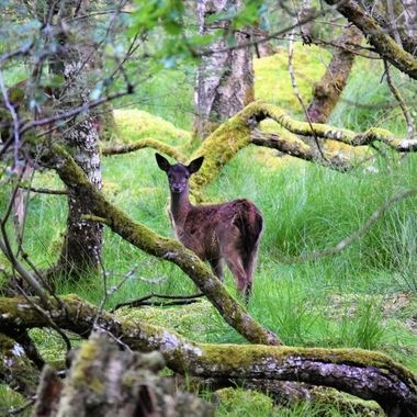 Surprise sighting of a young deer whilst walking through the woods very inquisitive of my presence