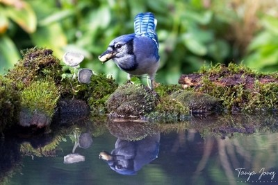 Blue Jay Reflection