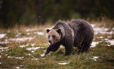 Alberta Grizzly Bear.