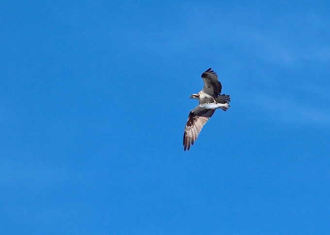 Taking photos of the beach and happen to look up and see this bird with a big fish.