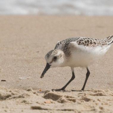 Immature Sanderling, Dewey Beach, DE, DSCN0261