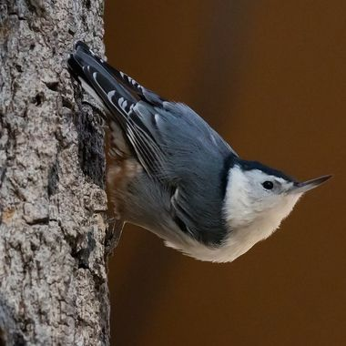 White-Breasted Nuthatch-2287