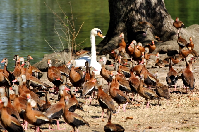 A mute swan surrounded by a group of Black-bellied whistling ducks in New Orleans, Louisiana, USA