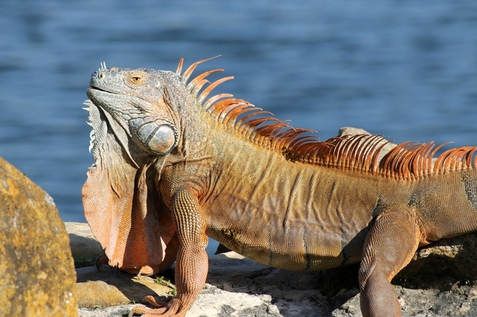 This is a male with breeding coloration.  Taken in Hollywood, Florida, USA. A prolific invasive species.