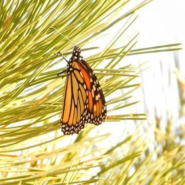 Monarch on Pine Tree