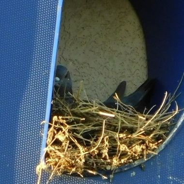 Pigeon Nesting in a Sign Letter