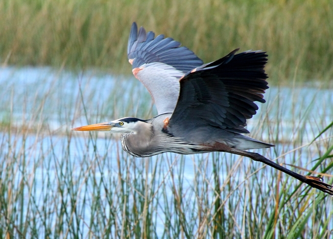 A beautiful heron in full flight. Taken at Merritt Island, Florida, USA