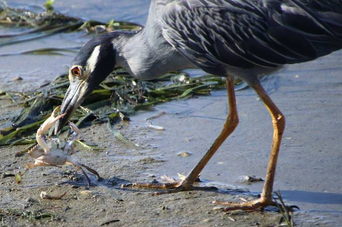 These herons feed mainly on crabs. They capture them and bring them to shore. This crab fought a losing battle! Taken at Mandeville, Loyuisiana, USA