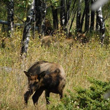 Moose Harem