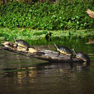 3 Turtles Sunning on a Log SJR