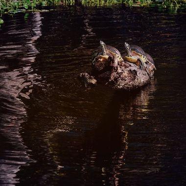 Sunning Turtles on the SJR