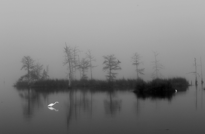 A foggy morning with a lone Great egret hunting for an early mesl.