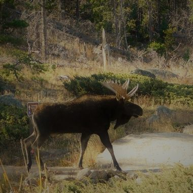 Moose on the Walking Trail