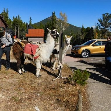 Pack L Lamas