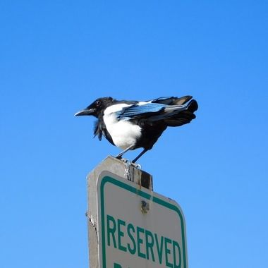 Magpie Thinks this is his Reserved Spot
