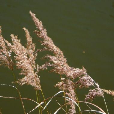 Cheat Grass At Lake Irene