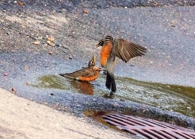 Robin Wrestling