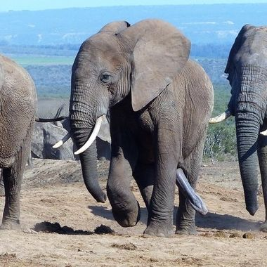 Two Bull Elephants harassing a Female
