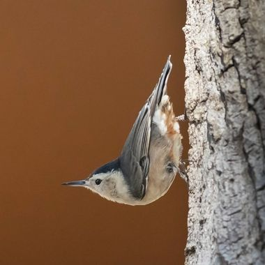 White-Breasted Nuthatch-2013