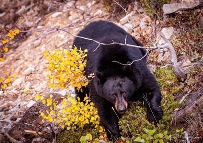 Huge Many Glacier Black Bear